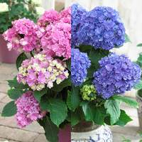 2 Hydrangea Together Collection