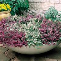 5 Winter Flowering Heathers