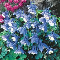 3 Aquilegia Mini Star