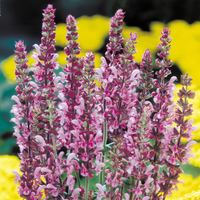 3 Salvia Nemorosa Rose Queen