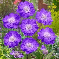 6 Scabiosa Perfecta Blue