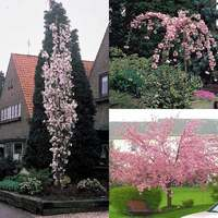 3 Prunus Collection