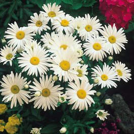 Chrysantha Maximum
