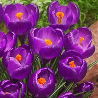 25 Crocus Flower Record