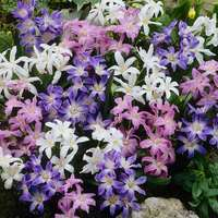 50 Chionodoxa Mixed