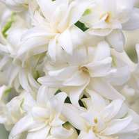 5 Hyacinth Madam Sophie (Double)