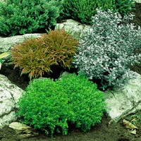 3 Dwarf Evergreen Hebe Coll.
