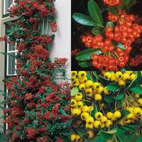 3 Pyracantha Collection