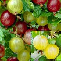 9 Gooseberry Collection