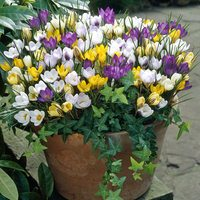 100 Crocus Winter Species Mixed
