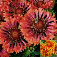 2 Gaillardia Collection