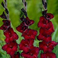 Gladioli Blackjack