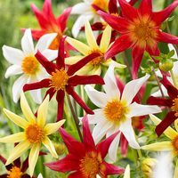 5 Dahlia Cartwheel Mixed (Honka)