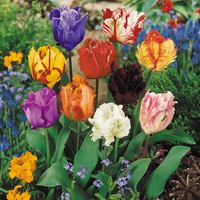 15 Parrot Tulips Mixed 11/12cm