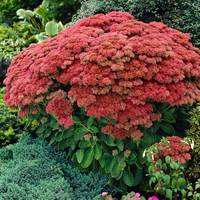3 Sedum Autumn Joy