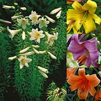 12 Trumpet Lily Collection