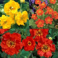 18 Geum Collection