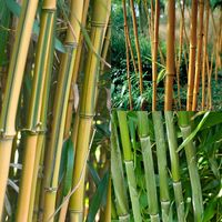 3 Phyllostachys Collection