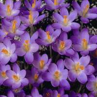 25 Crocus Barr's Purple
