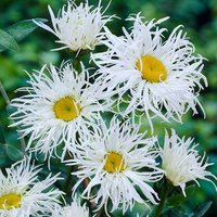 3 Leucanthemum Old Court