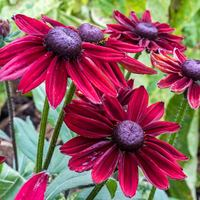 3 Rudbeckia Cherry Brandy
