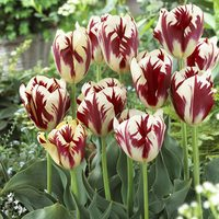15 Tulip Grand Perfection