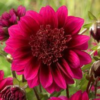 3 Dahlia Purple Puff