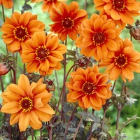 3 Dahlia Bishop of Oxford