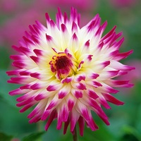 3 Dahlia Hayley Jane