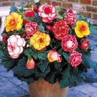 10 Picotee Begonia Mixed