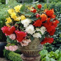 10 Begonia Cascading Mixed 3/4cm Tubers