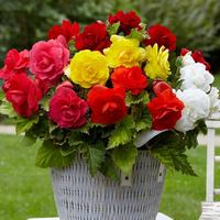 10 Double Begonias Mixed