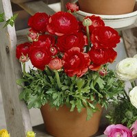 25 Ranunculus Red
