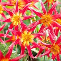 3 Dahlia Honka Surprise