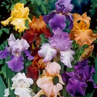 5 Iris Germanica Mixed