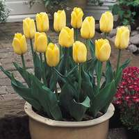 15 Tulip Yellow Flight