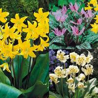 20 Erythronium Collection