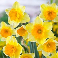 15 Narcissi Derringer