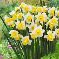 15 Narcissi Golden Echo 10/12cm