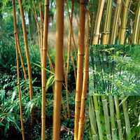 4 Phyllostachys Collection