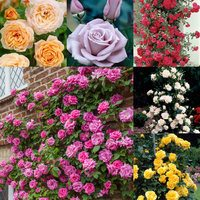 6 Climbing Rose Collection