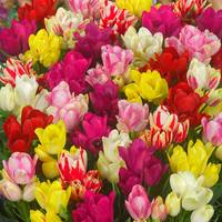 15 Tulips Multi Flowered Mixed