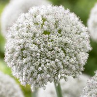 15 Allium White Cloud