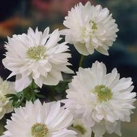 25 Anemone Mount Everest