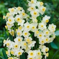 15 Narcissi Avalanche