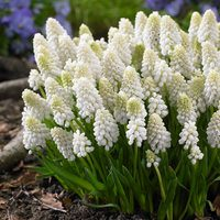 25 Muscari White Magic