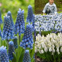 75 Muscari Magic Collection