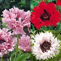 3 Papaver Orientale Collection