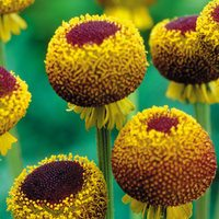 3 Helenium Autumn Lollipop