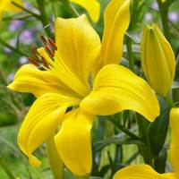 5 Lilium Yellow County
